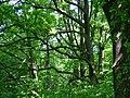 Oak tree forest - panoramio.jpg