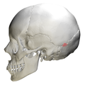 Occipital bone Lateral angle07.png
