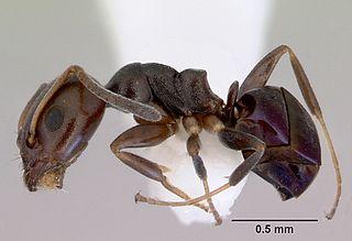 <i>Ochetellus</i> Genus of ants