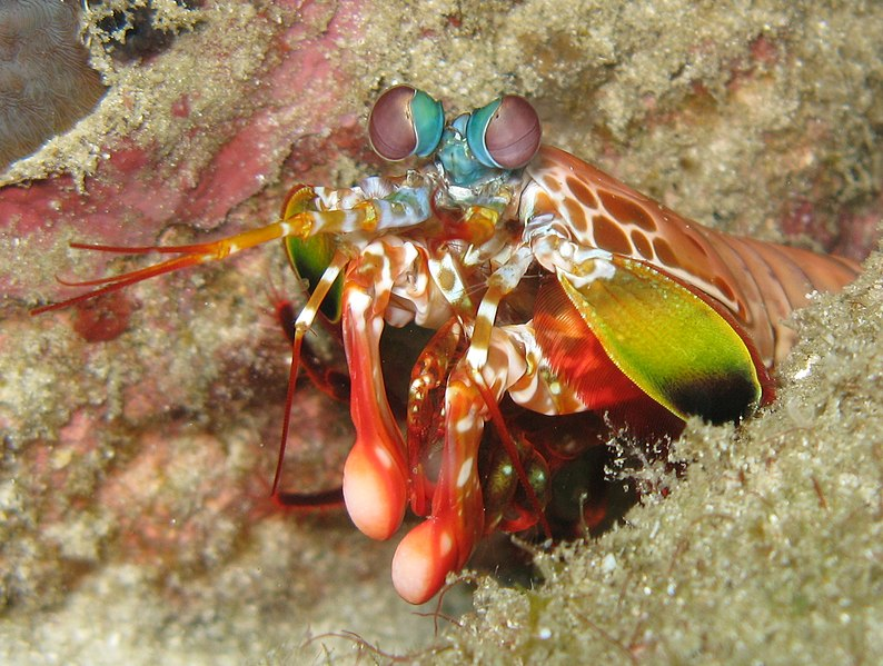 Mysterious Mantis Shrimp - A Look at Distictive Anatomy for Species ...