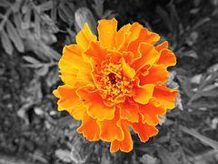 Oeillet d'Inde orange 1 noir et blanc.jpg