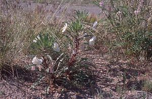 Oenothera harringtonii - Image: Oenothera harringtonii