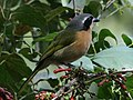 Olive Bushshrike (Telophorus olivaceus).jpg