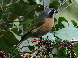 Olive bushshrike species of bird