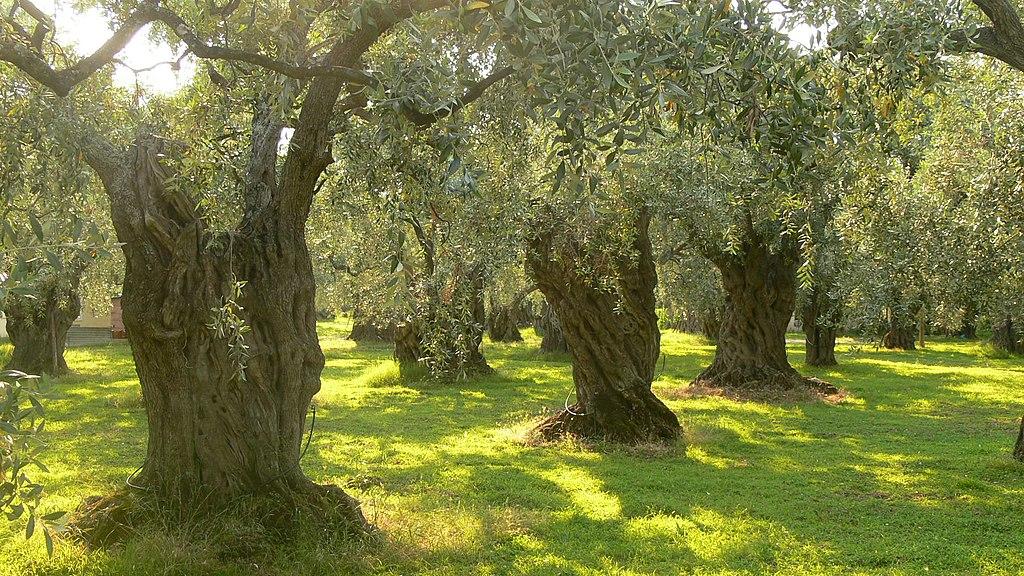 Olivos en Thassos (Grecia).