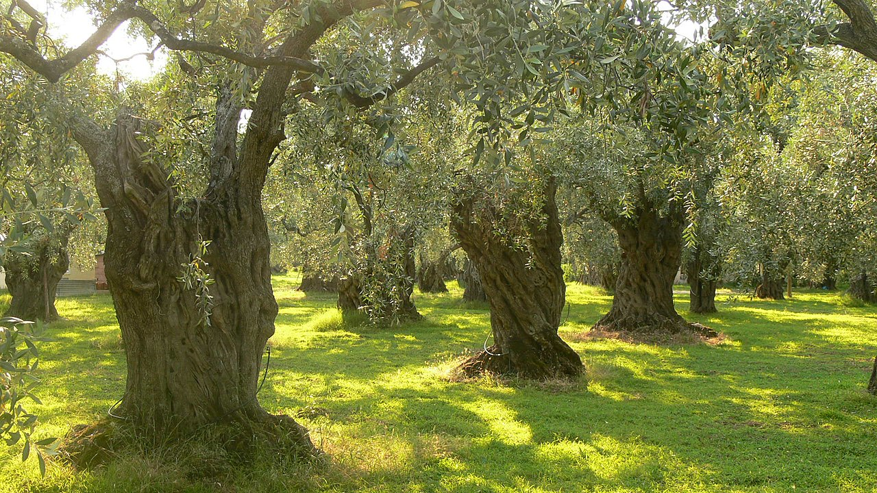 http://upload.wikimedia.org/wikipedia/commons/thumb/b/b2/Olive_trees_on_Thassos.JPG/1280px-Olive_trees_on_Thassos.JPG