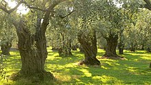 Olive trees in Thasos, Greece.