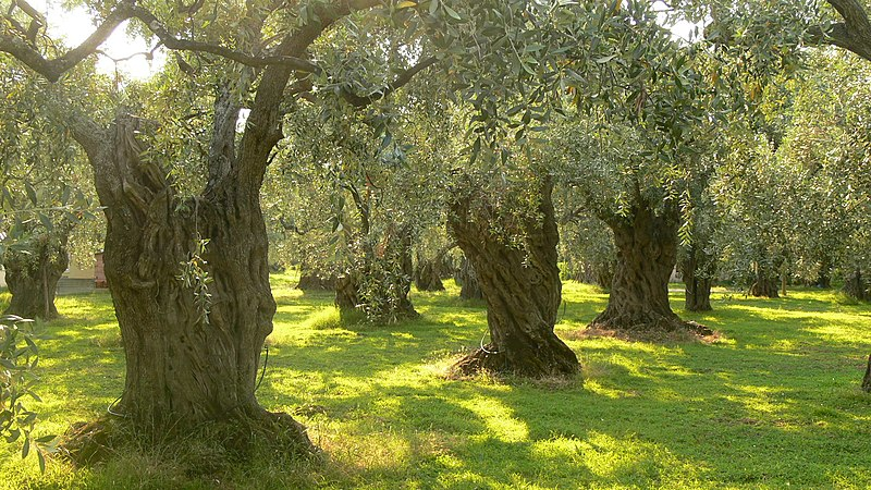 Olive trees on Thassos (picture from Wikimedia Commons)