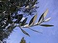 Olivo foglie.jpg