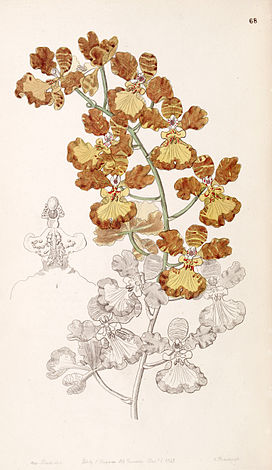 Oncidium gardneri (as Oncidium curtum) - Edwards vol 33 (NS 10) pl 68 (1847).jpg