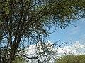 One in the bush (196138636).jpg