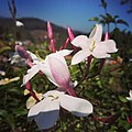 Ootyflower.jpg