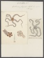 Ophiura fragilis - - Print - Iconographia Zoologica - Special Collections University of Amsterdam - UBAINV0274 108 16 0003.tif