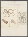 Ophiura fragilis - - Print - Iconographia Zoologica - Special Collections University of Amsterdam - UBAINV0274 108 16 0003.tif