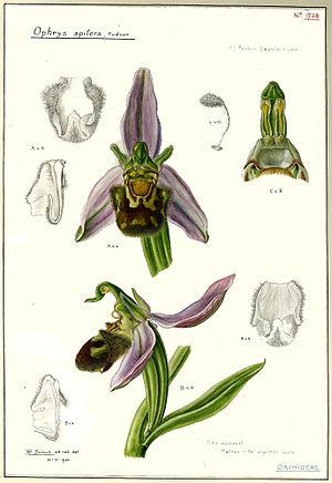 Hélène Durand - Ophrys apifera