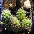 Opuntia (Tephrocactus) lecoriensis.jpg