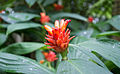 Orange tulip ginger (Costus curvibracteatus).jpg