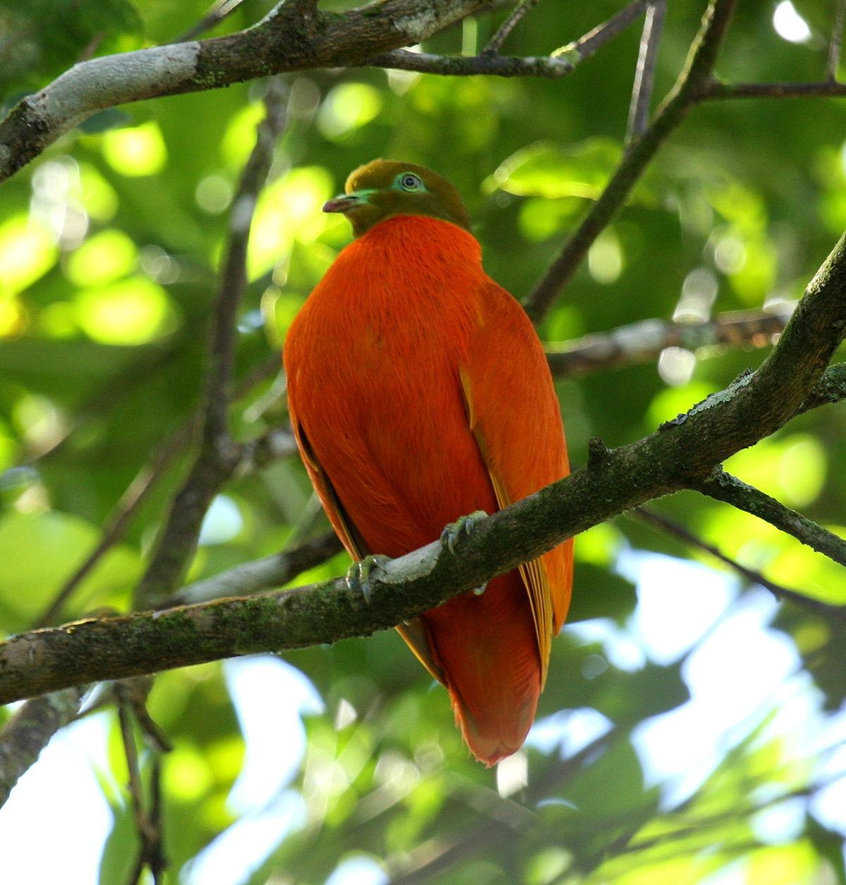 Orange fruit dove Wikipedia
