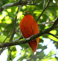 Orangedove taveuni june2008