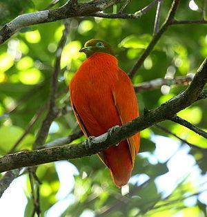 Orange fruit dove - Image: Orangedove taveuni june 2008