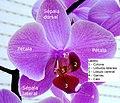 Orchid flower PT.JPG