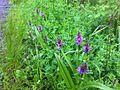 Orchideen im Wittmoor.jpg