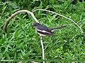 Oriental Magpie Robin (Copsychus saularis) (15706054400).jpg