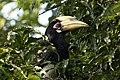 Oriental Pied Hornbill, Kaziranga.jpg