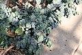 Origanum tournefortii 1zz.jpg