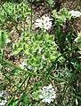 Orlaya grandiflora infructescence.jpg