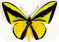 Ornithoptera goliath (UR1).jpg