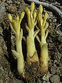 Orobanche fasciculata - Flickr - pellaea.jpg