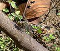Orthetrum sabina sabina female - Flickr - gailhampshire.jpg