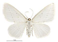 240px orthoclydon praefectata female