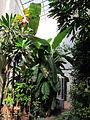 Orto botanico, fi, serra calda, musa x paradisiaca banano.JPG