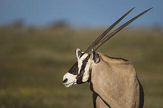 Gemsbok - Gemsbok portrait in Etosha National Park, Namibia.