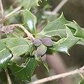 Osmanthus heterophyllus (fruits s2).jpg