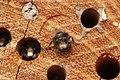 Osmia cornuta (32945221584).jpg
