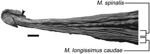 Dyoplosaurus - Tail of the holotype specimen