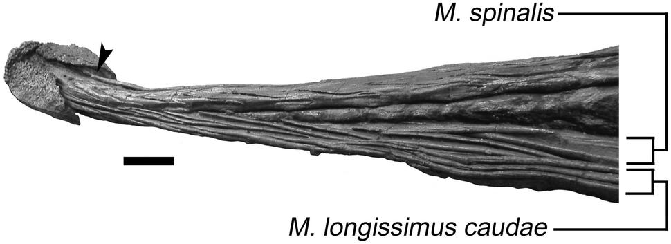 Ossified tendons in Ankylosaurus