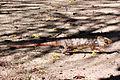 Oustalet's chameleon walking.jpg