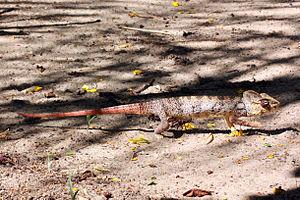 Malagasy giant chameleon - Wikipedia
