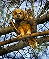 Owlet at North Beach, Fort Desoto.jpg