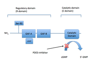 Discovery and development of phosphodiesterase 5 inhibitors - Image: PDE5domains