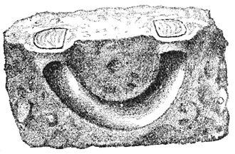 Barychelidae - burrow of Trichopelma astuta