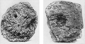 PSM V63 D037 Clod of earth containing cocoon of lung fish.png