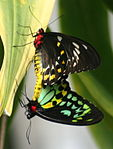 Pair of Cairns Birdwing Butterflys Kuranda Butterfly Sanctuary.jpg