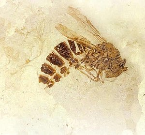 Wasp - Palaeovespa florissantia, a fossil wasp (Vespinae) from the Eocene rocks of the Florissant fossil beds of Colorado, c. 34 mya