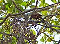 Pale-crested Woodpecker (Celeus lugubris) female (30939877124).jpg