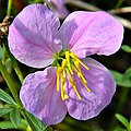 Pale Meadow Beauty (Rhexia mariana) (7339568326).jpg